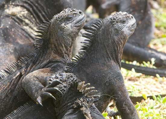 Galapagos Sun Bathers 550