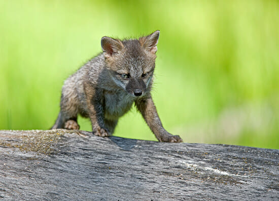 Gray Fox Kitten 550