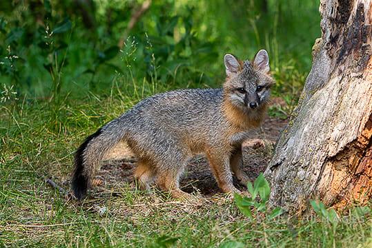 Grey Fox550
