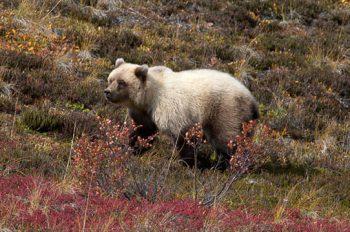 Grizzly Cub I Denali Tundra