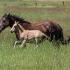 Horses At Play 550