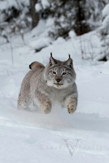 Leaping Lynx.