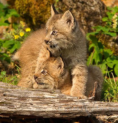Lynx Kittens At Play550
