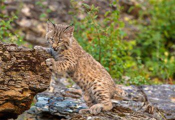 Lynx On Rock Ledge