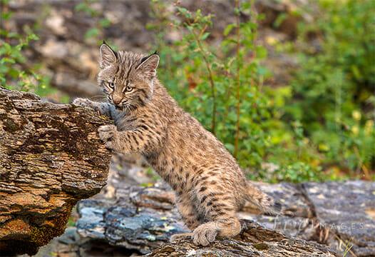 Lynx On Rock Ledge550