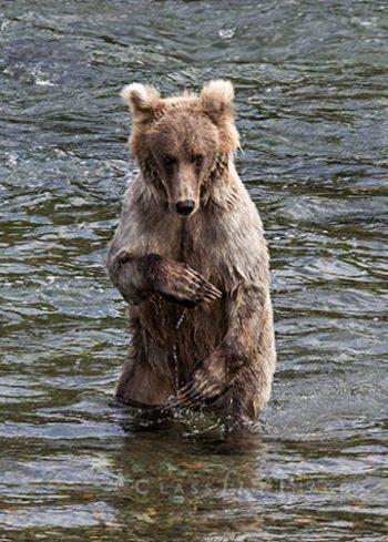 Modest Bear