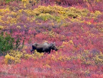 Moose In Denali Tundra