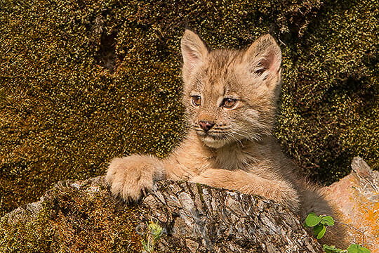 Portrait Of A Lynx550