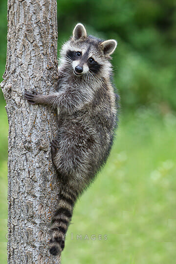racoon in tree class v images