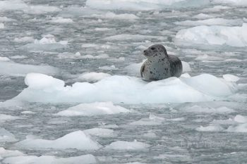 Seal On Ice Flow