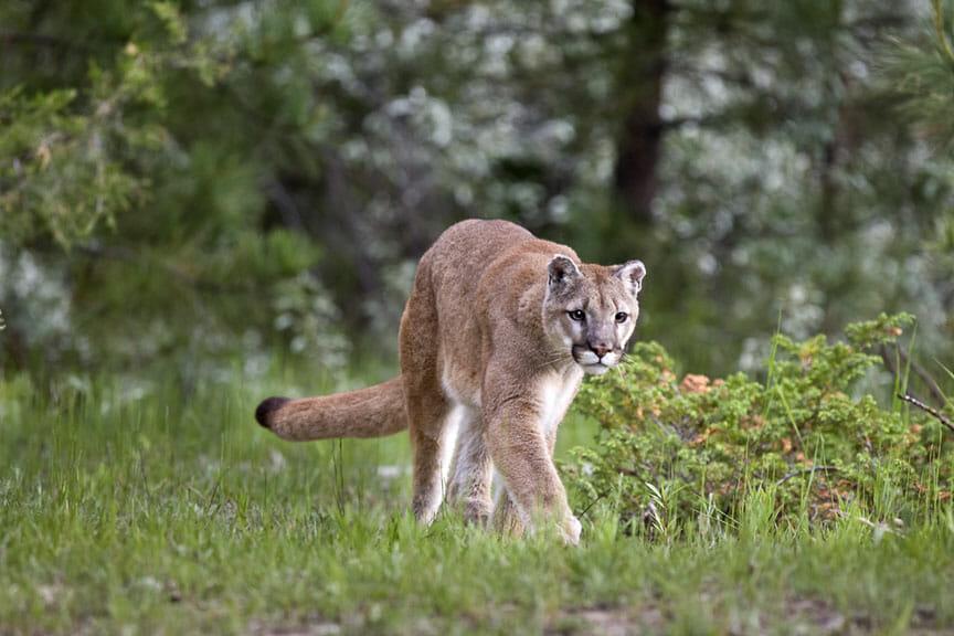 Stalking Cougar