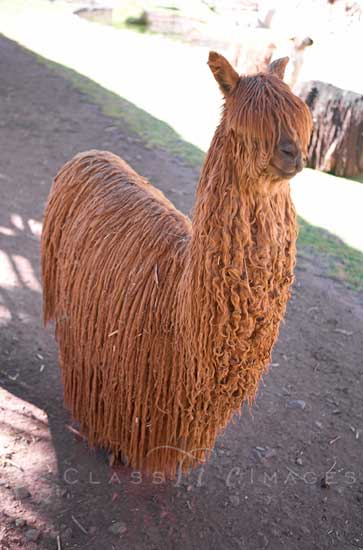 Unshorn Alpaca 550