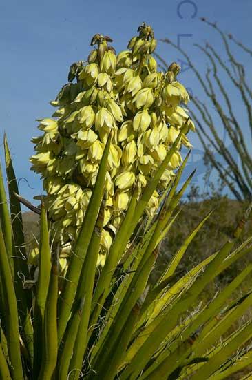 Yucca In Anza Borrego