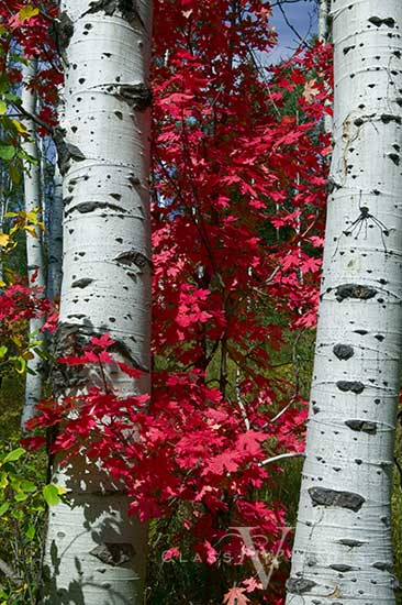 Fall Color In Aspens