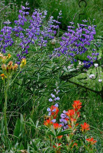 Wildflowers On Mt. Tallac Trail