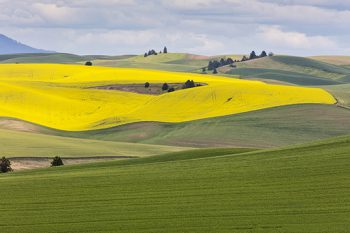 Rolling HIlls And Canola