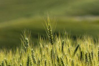Wheat Thistle