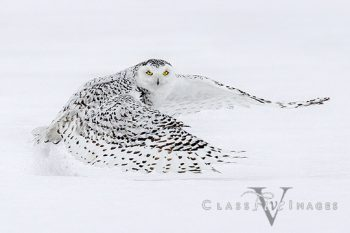 Snowy Owl-10