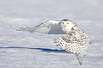 Snowy Owl-1