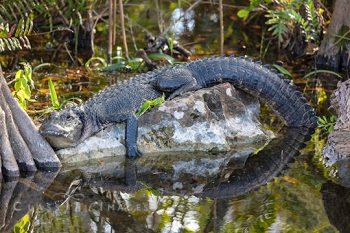 Croc In Swamp