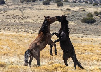 Wild Mustang 1